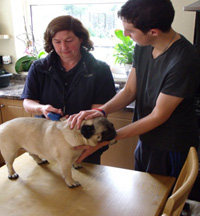 Pug being microchipped by dog warden